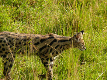 On the prowl ! - Free image #307367