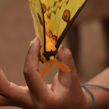 Comet Butterfly, Madagascar - Kostenloses image #307417