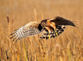 Northern Harrier on Seedskadee National Wildlife Refuge - Kostenloses image #307467