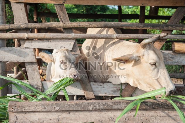 Cows on a farm - Free image #328117