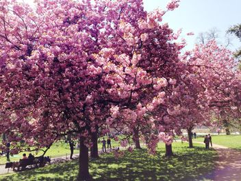 Pink blossom trees in Hyde park - бесплатный image #328407