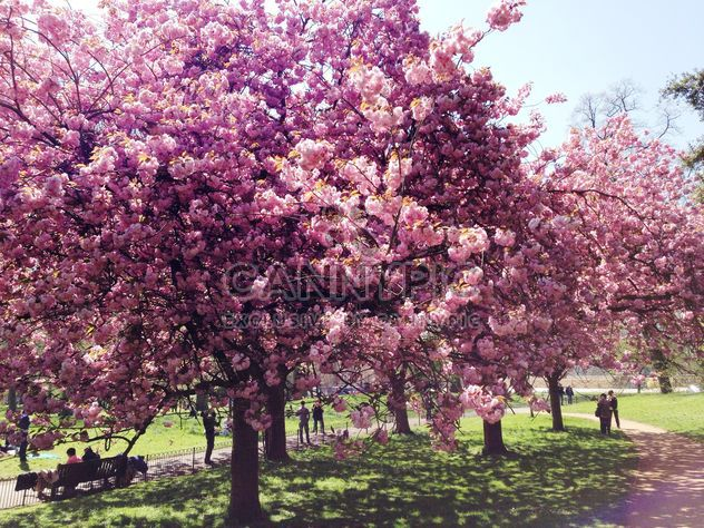 Pink blossom trees in Hyde park - Free image #328407
