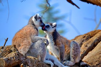 Lemur close up - image gratuit #328487