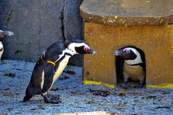 Couple of penguins - image gratuit #328507