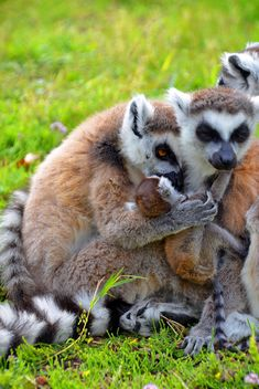 family of lemurs - Free image #328537