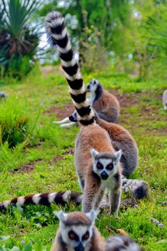 Lemurs close up - image gratuit #328557