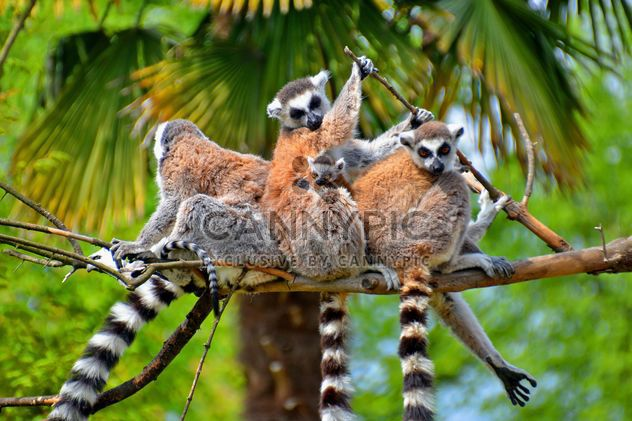 family of lemurs - Free image #328567