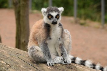 Lemur close up - image gratuit #328577