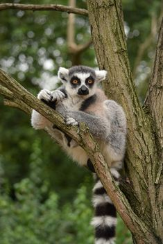 Lemur close up - image gratuit #328597