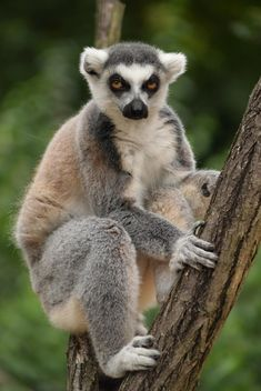 Lemur close up - image gratuit #328607