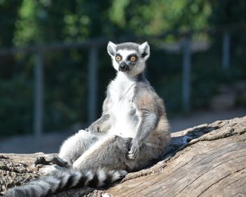 Lemur close up - image gratuit #328617