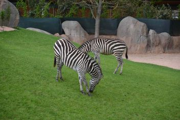 zebras on park lawn - Free image #329017