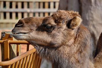 dromedary on farm - Free image #329037