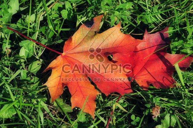 Maple leaves in the grass - image #329937 gratis