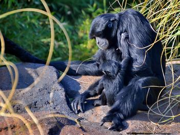 Siamang gibbon female with a cub - бесплатный image #330247