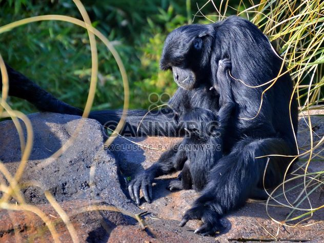 Siamang gibbon female with a cub - Free image #330247