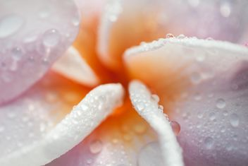 Close up of Plumeria - image gratuit #330847