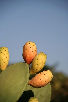 Prickly Pear cactus fruits - image gratuit #330867