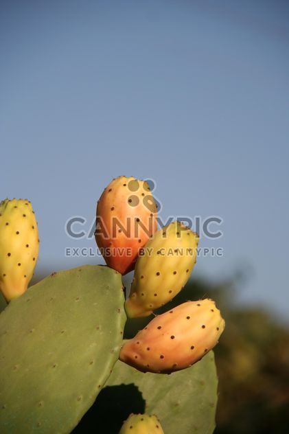 Prickly Pear cactus fruits - Free image #330867