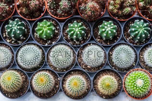Potted cactuses - Kostenloses image #330877