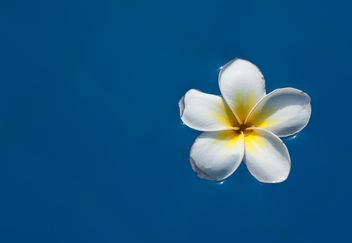 Close up of Plumeria flower - Free image #330887