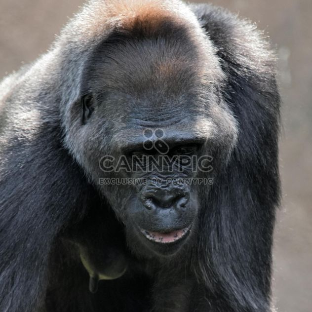 Gorilla portrait in park - бесплатный image #333167