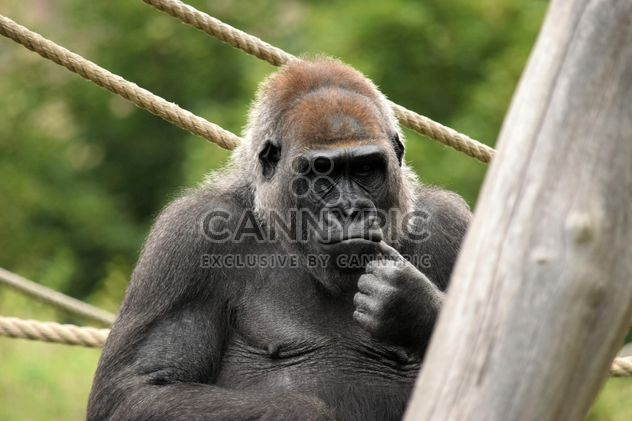 Gorilla on rope clibbing in park - image #333177 gratis