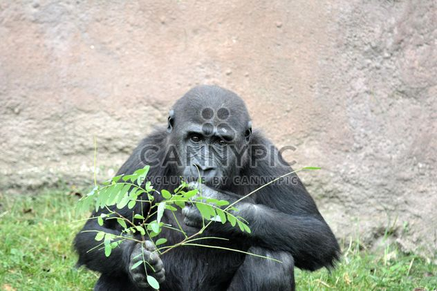 Gorilla eats green in park - бесплатный image #333207