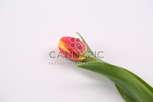 Red and Yellow Tulip with water drops - Free image #333247
