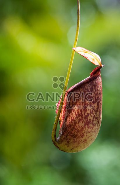 Nepenthes ampullaria, a carnivorous plant - бесплатный image #333277