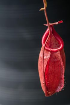 Nepenthes ampullaria, a carnivorous plant - бесплатный image #333287