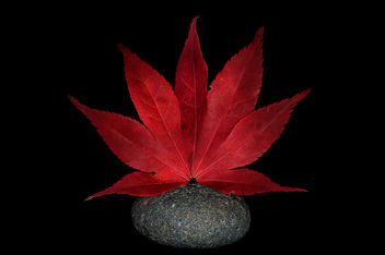 Japanese Maple Leaf on a River Stone - image gratuit #334157