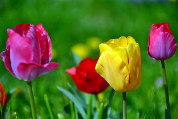 lawn with tulips - image #334697 gratis