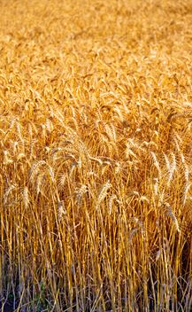 wheat field - image gratuit #334797
