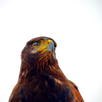 Brown hawk - Free image #334817