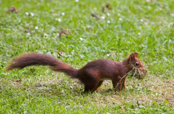Squirrel eating grass - image gratuit #335027
