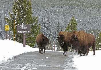 Bison on road near Old Faithful - бесплатный image #335727