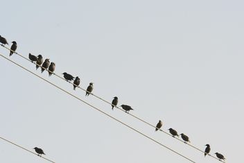 Starlings on electric wires - Free image #337487