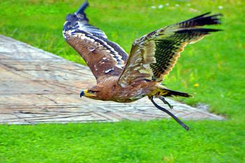 Brown eagle in flight - image #337537 gratis