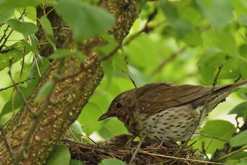 Thrush and nestlings in nest - image gratuit #337567