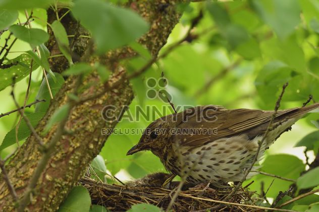 Thrush and nestlings in nest - Free image #337567
