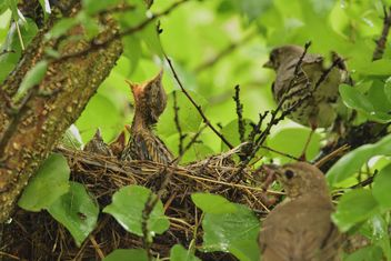 Thrushes and nestlings in nest - image #337577 gratis