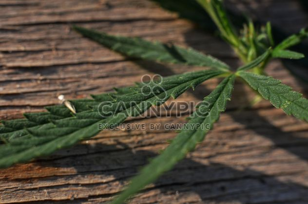 Closeup of cannabis leaf - image gratuit #338267