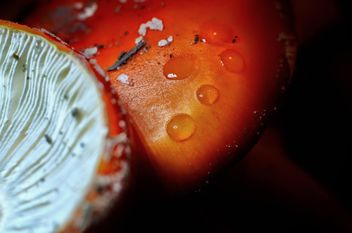 Amanita mushrooms with water drops - Free image #338287