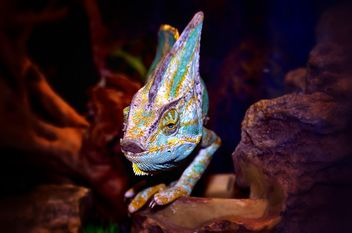 Portrait of blue chameleon - image #338317 gratis