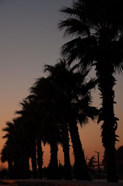 Palm trees at sunset - Free image #338517