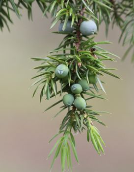 Closeup of juniper branch - image #339187 gratis