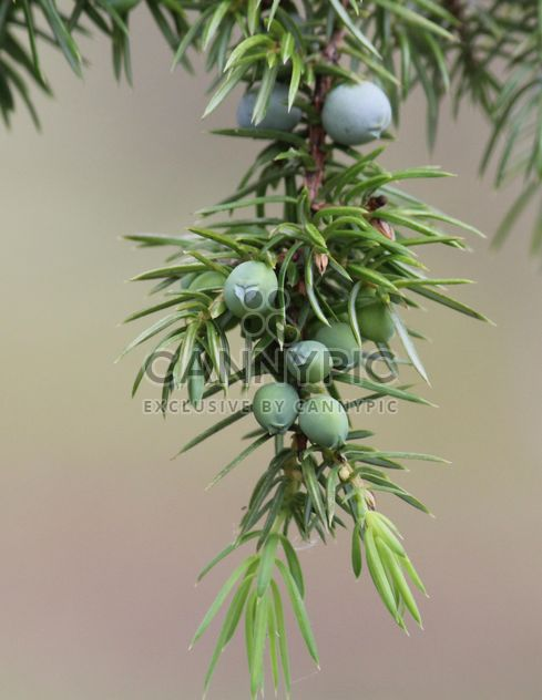 Closeup of juniper branch - Free image #339187