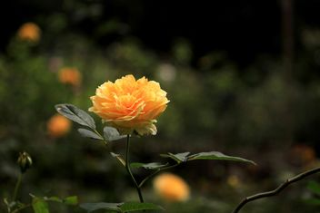 Yellow rose in garden - image #339237 gratis