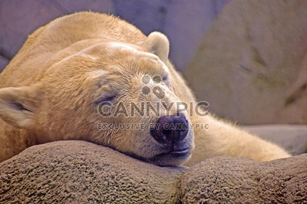 Polar bear sleeping on stone - Free image #341287